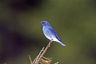 Mountain Blue Bird at Eagle Point Resort